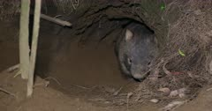 Wombat, common, in burrow's mouth