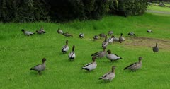 Australian Wood Duck flock feeding on grass