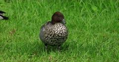 Australian Wood Duck male feeding on grass