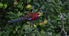 Crimson Rosella feeding on apples