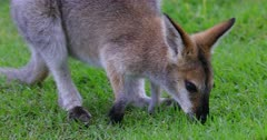 Red-necked Wallaby grazing