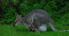 Red-necked Wallaby grazing, joy inside grazes too