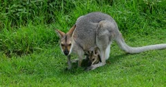 Red-necked Wallaby  grazing, joy head out
