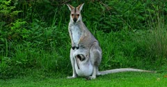 Red-necked Wallaby standing alert, joy pops out