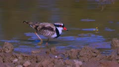 Black-fronted Dotterel feeding on lagoon's bank