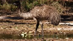 Emu  drinking in lagoon on the Outback
