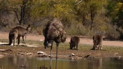 Emu  drinking in lagoon on the Outback, kangaroos at the back