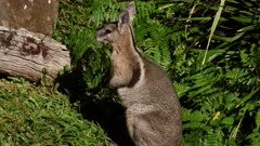 Bridled nail-tail Wallaby on the alert