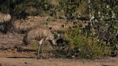 Emu  walking and feeding on a bush