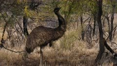 Emu  feeding on a bush (Mimosa)