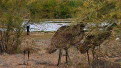 Emu  feding on schrubs several
