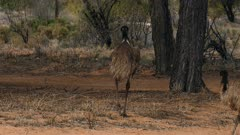 Emu  feeding, several, walking away