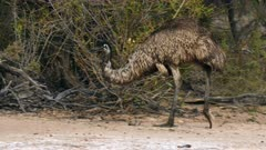 Emu  walking and feeding