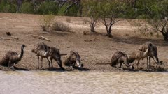 Emu  drinking on waterhole, 8 individuals