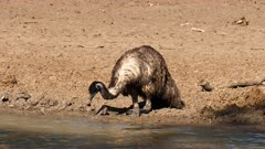 Emu  solo drinking on waterhole