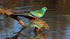Mulga Parrot, flock drinking at dawn in the outback in a waterhole