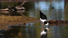 Black-necked Stilt feeding in a pond
