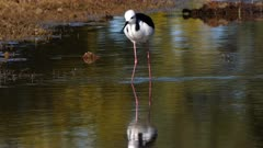 Black-necked Stilt feeding in a pond