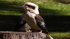 Laughing Kookaburra couple perched on a trunk
