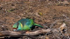Australian Ringneck feeding on the ground, close