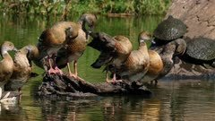Plume Whistling-Duck, several perched preening,one arriving