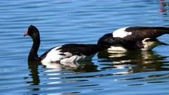 Magpie Goose, couple in water preening