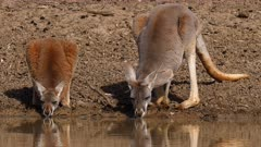 Red Kangaroo, mother and joy drinking