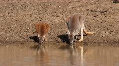 Red Kangaroo, mother and joy drinking