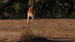 Red Kangaroo, three on the alert, focus on one, leaves hopping in slowmo