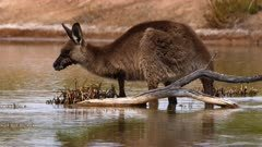 Eastern Grey Kangaroo, feeding in a waterhole