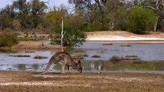 Eastern Grey Kangaroo grazing on a waterhole edge in the outback