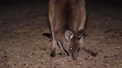 Eastern Grey Kangaroo grazing at night