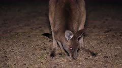 Eastern Grey Kangaroo grazing at night