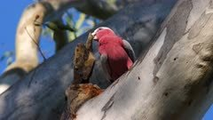 Galah working on a nest on a tree