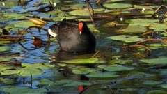 Dusky Moorhen in a pond displaying