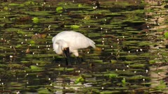 Royal Spoonbill fishing in a pond spoonbill style