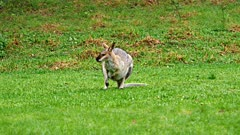 Wallaby, red-necked, flees hopping slowmo (Bunya Mts QLD)