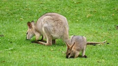 Wallaby, red-necked, Mother and joy grazing, joy raise alert