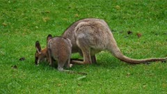 Wallaby, red-necked,  joy grazing, enters the pouch