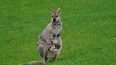 Wallaby, red-necked,  mother and joy in  the pouch head out medium