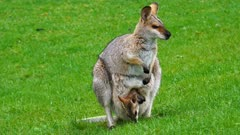 Wallaby, red-necked,  mother and joy in  the pouch graze