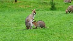 Wallaby, red-necked, joy suckling zoom