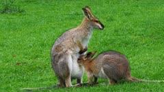 Wallaby, red-necked, joy suckling alert close