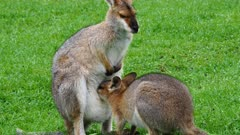 Wallaby, red-necked,  joy suckling close z.back