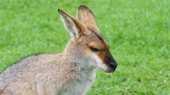 Wallaby, red-necked,  joy suckling head shot tilt from mother to joy