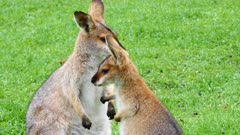 Wallaby, red-necked,  mother and joy interact with hands and mouth close