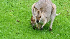Wallaby, red-necked, mother and joy in pouch grazing, front