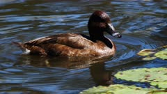 Duck, Hard Head, swimming, close, neck display