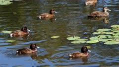 Duck, Hard Head, flock swimming, wide