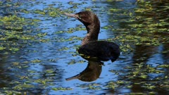 Little black Cormorant in a pond alert A, close